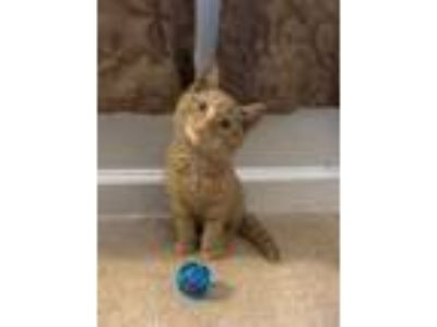 Adopt Envy a Orange or Red Domestic Shorthair / Domestic Shorthair / Mixed cat