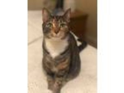 Adopt Cordelia (BVS Litter) a Torbie, Domestic Short Hair
