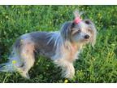 Adopt Little Bit a White - with Tan, Yellow or Fawn Chinese Crested / Mixed dog