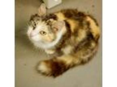 Adopt Miss Kitty a Calico or Dilute Calico Domestic Longhair cat in Atlanta