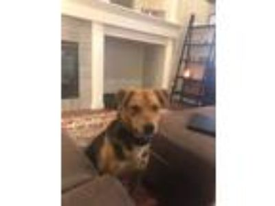 Adopt Jasper a German Shepherd Dog, Belgian Shepherd / Malinois