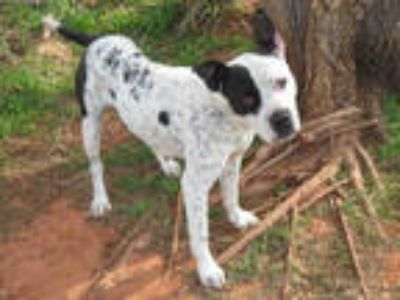 Adopt PIPER a White - with Black Pointer / Boxer / Mixed dog in Oklahoma City