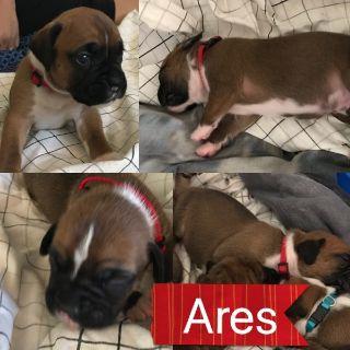 Boxer PUPPY FOR SALE ADN-94181 - 6 Purebred Boxer Puppies