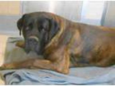 Adopt A1602932 @ Orange County SHELT a Brindle Mastiff / Mixed dog in Beverly