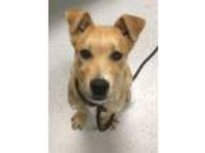 Adopt Ramona a Yellow Labrador Retriever