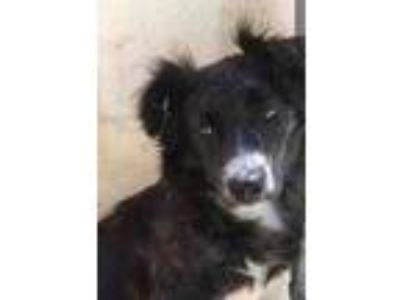 Adopt Cookie a Black Border Collie / Mixed dog in New Smyrna Beach