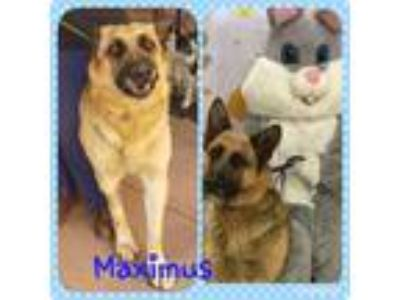 Adopt Maximus a Black - with Tan, Yellow or Fawn German Shepherd Dog / Mixed dog