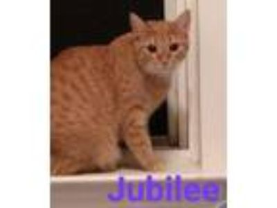 Adopt Jubilee a Domestic Short Hair