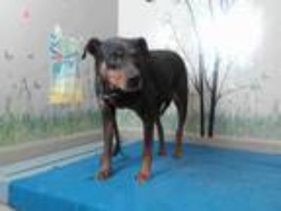 Adopt PERLA - ID#A5278652 a Brown/Chocolate - with Black Miniature Pinscher /