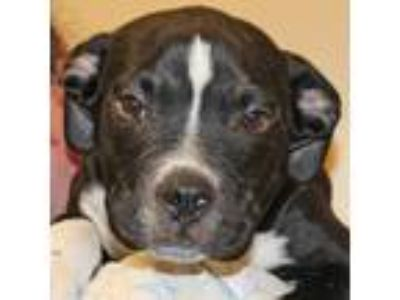 Adopt Burns a Black - with White Pit Bull Terrier / Mixed dog in Walnut Creek