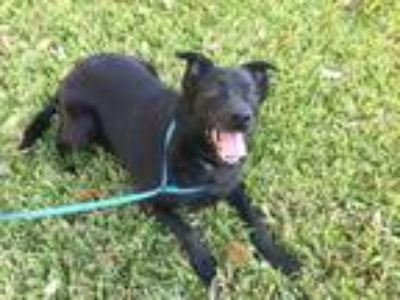 Adopt Quinn a Black Labrador Retriever / Pomeranian / Mixed dog in Olympia
