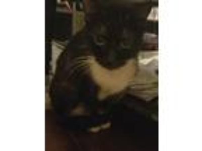 Adopt Nightmare a Black & White or Tuxedo American Shorthair / Mixed cat in