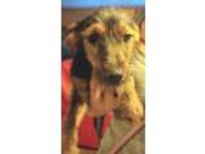 Adopt Mix Match#3f a Yorkshire Terrier, Dachshund
