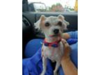 Adopt Lionel - In Foster in Rocky Mount, NC a Poodle