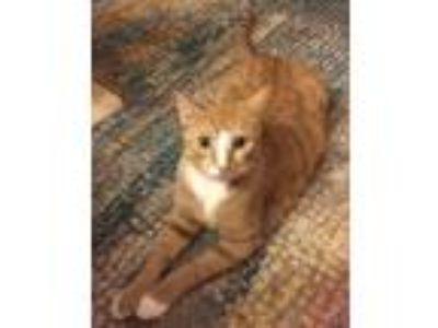 Adopt Cheese (bonded to Pepper) a Orange or Red Tabby Domestic Shorthair (short