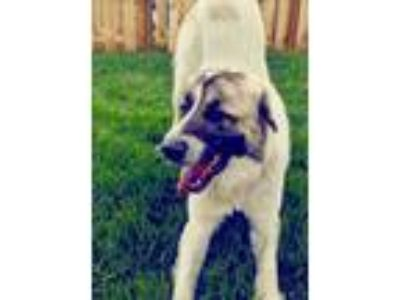 Adopt PANCAKE a White - with Brown or Chocolate Anatolian Shepherd / Great