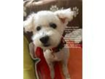 Adopt Scooby! Gorgeous Mini Poodle a White Miniature Poodle / Mixed dog in Los