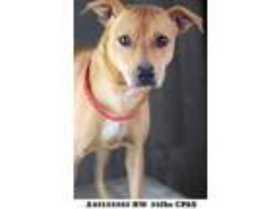 Adopt Leilani a Brown/Chocolate Hound (Unknown Type) / Mixed dog in Shreveport