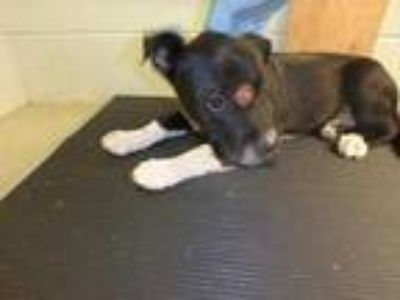 Adopt 41664261 a Black Retriever (Unknown Type) / Mixed dog in Dallas