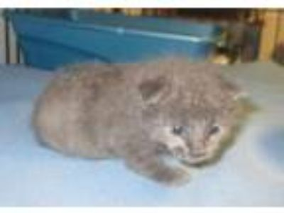 Adopt Luke a Russian Blue, Domestic Short Hair