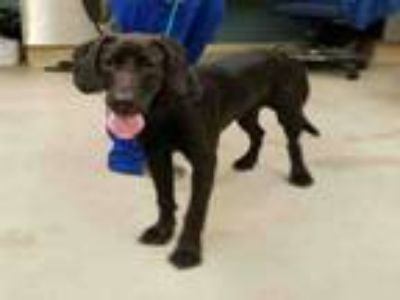 Adopt A414448 a Great Dane, Mixed Breed
