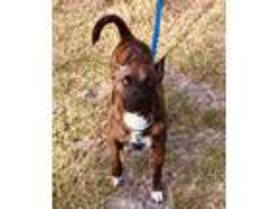 Adopt Cody a Brindle Terrier (Unknown Type, Medium) / Shepherd (Unknown Type) /