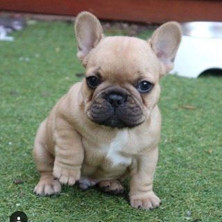 ISO: Male French Bulldog Puppy