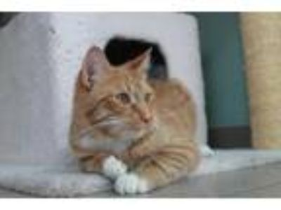Adopt Mango a Orange or Red Domestic Shorthair / Mixed cat in Jamestown