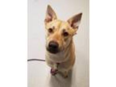 Adopt Nova a Cattle Dog, Basenji
