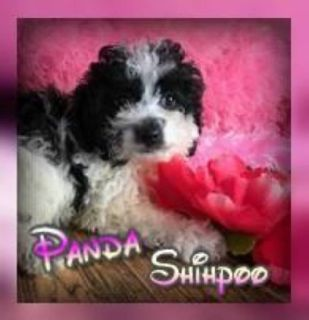 Panda Female Shihpoo