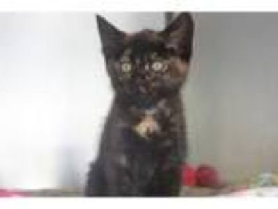 Adopt Cameo a Domestic Short Hair