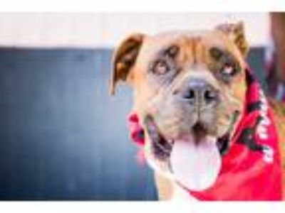 Adopt Janet a Brown/Chocolate - with White Boxer / Mixed dog in Los Angeles
