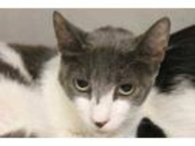 Adopt Winston a Gray or Blue Domestic Shorthair / Domestic Shorthair / Mixed cat