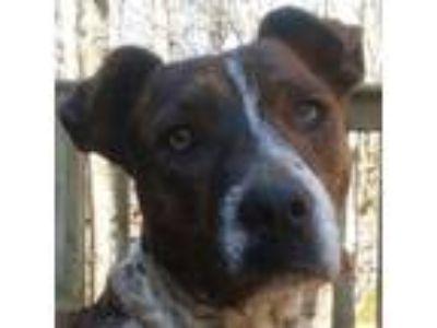 Adopt Rosie a Brindle - with White Labrador Retriever / Blue Heeler / Mixed dog