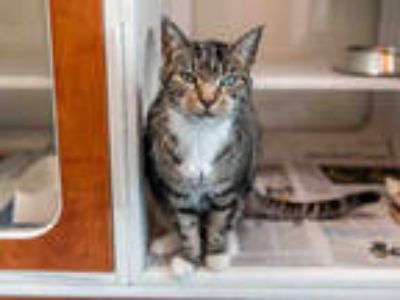 Adopt COOKIE a Brown Tabby Domestic Shorthair / Mixed (short coat) cat in Doral