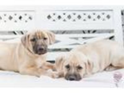 Adopt Hazel Litter 3.0 a Tan/Yellow/Fawn - with Black Labrador Retriever /
