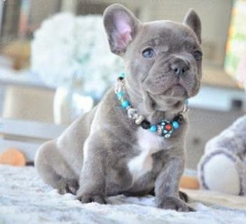 Male and female French Bulldog puppies for pet lovers.