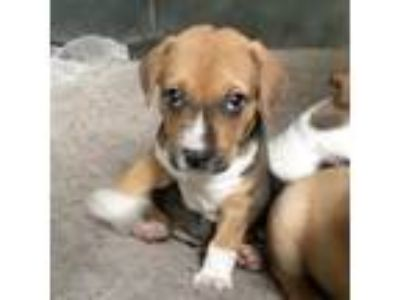 Adopt Penny a Tricolor (Tan/Brown & Black & White) Labrador Retriever / Boxer /