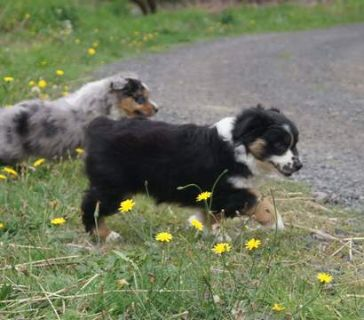 Miniature American Shepherd PUPPY FOR SALE ADN-96444 - Black tri girl