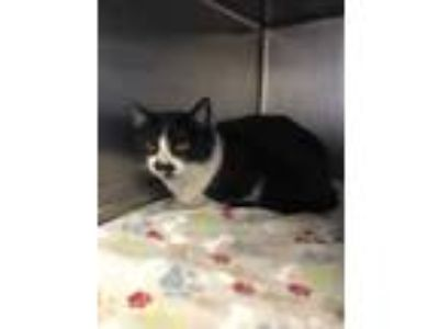 Adopt HOPE a All Black Domestic Shorthair / Domestic Shorthair / Mixed cat in