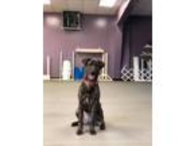 Adopt Ember a Brindle Plott Hound / Labrador Retriever / Mixed dog in Bogart