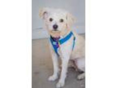 Adopt Kimo a White Poodle (Standard) / Bichon Frise / Mixed dog in Fremont