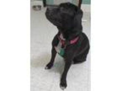 Adopt Freya a Labrador Retriever, American Staffordshire Terrier