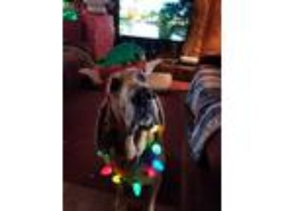 Adopt Wyatt a Bloodhound