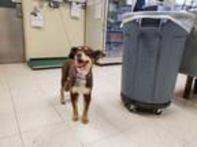 Adopt LACY a Brown/Chocolate Cocker Spaniel / Collie / Mixed dog in Camarillo