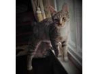 Adopt Jessie a Domestic Short Hair, Tabby