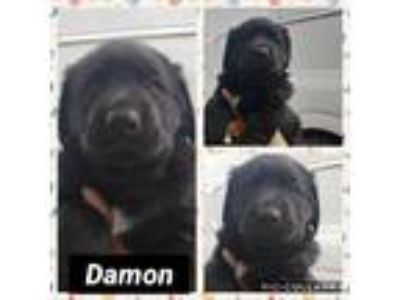 Adopt Damon a Black Rottweiler / Golden Retriever / Mixed dog in Ringwood