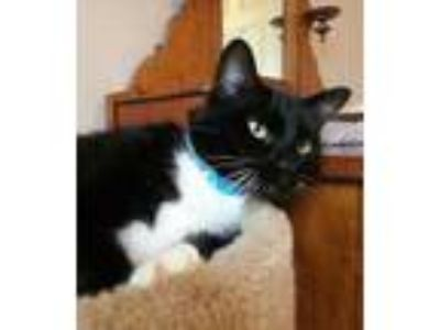 Adopt Tucker 2 a All Black American Bobtail / Domestic Shorthair / Mixed cat in