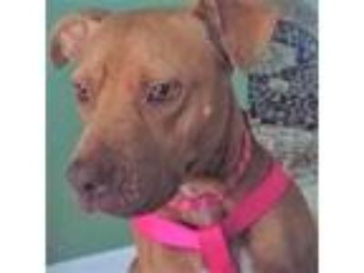 Adopt Momma a Pit Bull Terrier