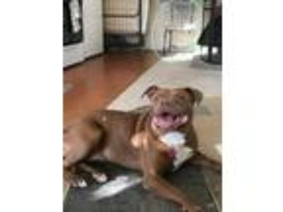 Adopt Molly Courtesy post a American Staffordshire Terrier